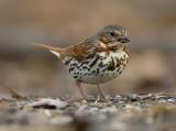 Fox Sparrow 0568