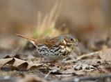 Fox Sparrow 0573