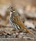 Fox Sparrow 0598