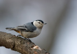 White-breasted Nuthatch 0746