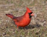 Northern Cardinal 0782