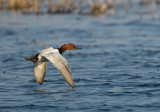 Canvasback 0971