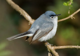 Blue-gray Gnatcatcher 2243