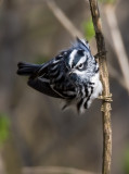 Black and White Warbler 2306