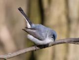 Blue-gray Gnatcatcher 2385