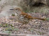 Brown Thrasher 2677