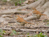 Brown Thrashers 2698