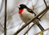 Rose-breasted Grosbeak 2813