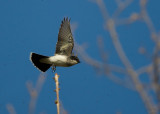 Eastern Kingbird 3249