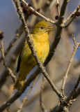 Female Summer Tanager 3277