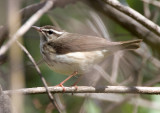 Louisiana Waterthrush 3475
