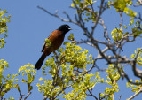 Orchard Oriole 3483