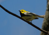 Black-throated Green Warbler 3573