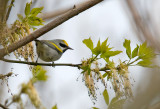 Golden-winged Warbler 3666