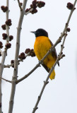 Baltimore Oriole 3683