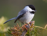 Black-capped Chickadee 3957.jpg