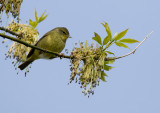Orange-crowned Warbler 4017.jpg