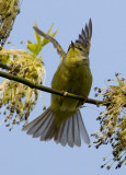 Orange-crowned Warbler 4020.jpg