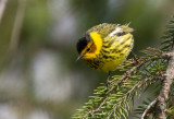 Cape May Warbler 4261.jpg