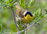 Common Yellowthroat 4362.jpg