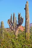 Unusual saguaro