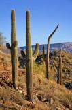 Saguaro on Go John Trail