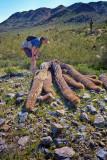 Fallen Saguaro