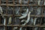 Silkworms in Zuke village