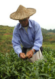 Tea picking near Nashan Mountain