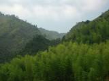 Bamboo green near Shouning