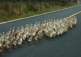 Duck rumble