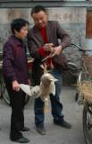 Duck weighing in Taoshin