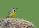 20080606 157 Eastern Meadowlark.jpg