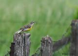 20080611 163 Eastern Meadowlark.jpg
