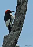 20080625 - 300 548 Red-headed Woodpecker.jpg