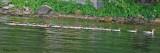 20080804- D200 420 Common Mergansers (Juv).jpg
