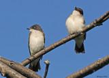 20080729- D300 095 Eastern Kingbirds (Juv).jpg