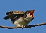 20080729- D300 074 Eastern Kingbird (Juv).jpg