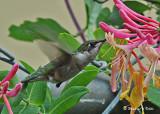 20080714- D300 011 Hummingbird.jpg