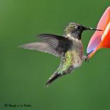 20080820 D300 519 Ruby-throated Hummingbird.jpg