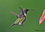 20080820 D300 524 Ruby-throated Hummingbird.jpg