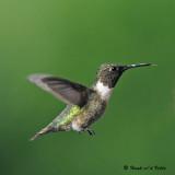 20080820 D300 516 Ruby-throated Hummingbird.jpg