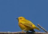 20080513 018 Yellow Warbler.jpg