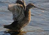 20080814 D300 490 Wood Duck SERIES.jpg
