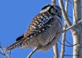 20081220 068 Northern Hawk Owl SERIES.jpg