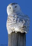 20090106 090 Snowy Owl - SERIES.jpg