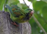 20090212 CR  2 189  Orange-chinned Parakeet.jpg