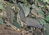 20090212 CR  1 1014 Bare-throated Tiger-Heron SERIES.jpg