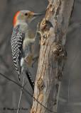 20090316 024 Red-bellied Woodpecker (f).jpg
