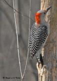 20090316 034 Red-bellied Woodpecker (f).jpg
